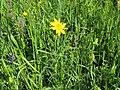 2018-05-13 (146) Tragopogon pratensis (Jack-go-to-bed-at-noon) at Bichlhäusl in Frankenfels, Austria.jpg