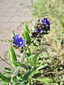 20180505Anchusa officinalis1.jpg