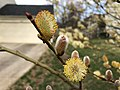 2019-03-28 17 10 28 Pussy Willow blooming along Scotsmore Way near Kinross Circle in the Chantilly Highlands section of Oak Hill, Fairfax County, Virginia.jpg