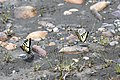 2019-06 Jasper National Park (01) Papilio canadensis.jpg
