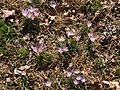 2021-03-04 11 21 10 Crocuses blooming along a walking path in the Franklin Glen section of Chantilly, Fairfax County, Virginia.jpg