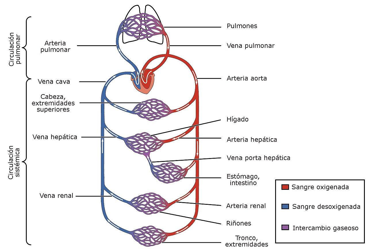Aparato circulatorio - Wikiwand