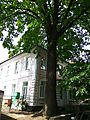 24 Artynova str. oak tree 1.jpg