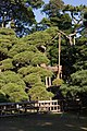 300-year-old pine (2087508893).jpg