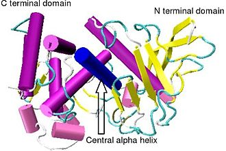 Thermolysin - Crystallographic structure of Bacillus thermoproteolyticus thermolysin.