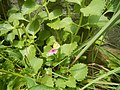 4800Common houseflies and foods delicacies of Bulacan 05.jpg
