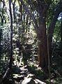 5 indigenous forest path - Devils Peak - South Africa.JPG