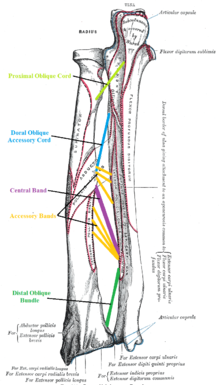 220px 5_ligaments_of_interosseous_membrane_of_forearm interosseous membrane of forearm wikipedia