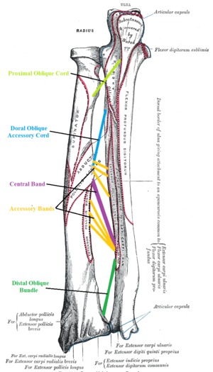 Interosseous membrane of forearm - The interosseous membrane is composed of 5 ligaments:- Central band (key portion to be reconstructed in case of injury)- Accessory band- Distal oblique bundle- Proximal oblique cord- Dorsal oblique accessory cord