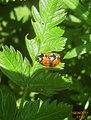 7-spot ladybirds in cop. (SGr) (5637065335).jpg