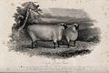 A South Down ram viewed in two positions. Etching by H. Beck Wellcome V0021688.jpg