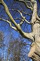 A Tweedside beech tree - geograph.org.uk - 670762.jpg