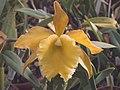 A and B Larsen orchids - Brassolaeliocattleya Elizabeth Hearn x B digbyana DSCN1790.JPG
