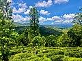 A beautiful morning in a tea estate.jpg
