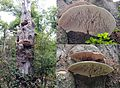 A giant (some 70 cm) Ganoderma lipsiense Syn. Ganoderma applanatum (Artist's Bracket or Artist's Conk, D= Flacher Lackporling, F= polypore aplani, NL= Platte tonderzwam) brown spores and causes whiterot, in a group at - panoramio.jpg