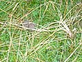 A mouse beside the track of The Pendle and Bronte Way. - geograph.org.uk - 945154.jpg