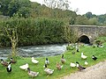 A variety of ducks beside the River Windrush - geograph.org.uk - 1006377.jpg