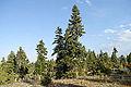 Abies cilicica - Taurus fir.jpg