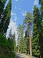 Abies pindrow India37.jpg