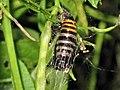 Abraxas grossulariata (Magpie Moth) pupa, Arnhem, the Netherlands.JPG