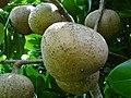 Abricot des Antilles 01.JPG