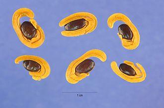 Acacia cyclops - Image: Acacia cyclops seeds