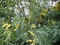 Acacia dealbata Habitus 2010-3-21 SierraMadrona.jpg