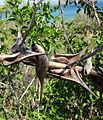 Acacia latispina - winged spines (9584379600).jpg
