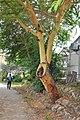 Acacia xanthoploaea Fever Tree ყვითელმერქნიანი აკაცია.JPG