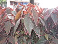 Acalypha wilkesiana marginata-post office-yercaud-salem-India.JPG