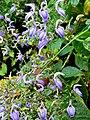 Acanthaceae Brillantaisia owariensis 1.jpg