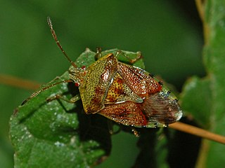 Parent bug species of insect