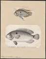 Acara bimaculata - 1700-1880 - Print - Iconographia Zoologica - Special Collections University of Amsterdam - UBA01 IZ14000079.tif