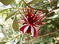 Acca sellowiana flower 1.jpg
