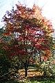 Acer palmatum 'Osakazuki' JPG1b.JPG