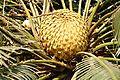 Acharya Jagadish Chandra Bose Indian Botanic Garden - Howrah 2011-01-08 9813.JPG
