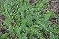 Achillea millefolium in Jardin Botanique de l'Aubrac.jpg
