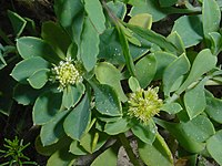Acicarpha spathulata 1