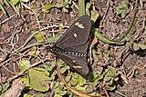 Acraea (Acraea safie).jpg