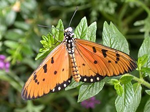 Heliconiinae - Well-known tawny coaster of the Acraeini presently goes by the scientific name Acraea terpsicore.