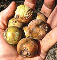 Acrocomia mexicana-fruits-1.jpg
