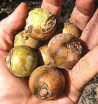 Acrocomia aculeata - Fruit of Acrocomia aculeata