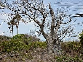 Adansonia digitata 0008.jpg