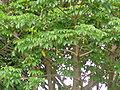 Adansonia digitata 0010.jpg