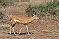 Aepyceros melampus -Serengeti National Park, Tanzania-8.jpg