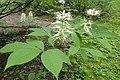 Aesculus parviflora kz05.jpg