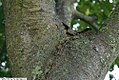 Aesculus x carnea Briotii 2zz.jpg