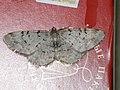 Aethalura punctulata - Grey birch - Дымчатая пяденица точечная (40020400315).jpg
