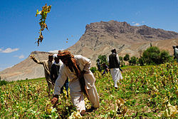 Afghans are destroying a poppy field.jpg