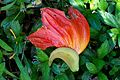 African Tulip Tree flower (8722883698).jpg